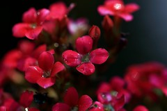 Little red flowers (Rajavelu1) Tags: flowers red macrophotograph macro art artwork creative canon6d canonef100mmf28macroisusmlens plant nature simplysuperb