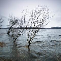 Liminal (strachcall) Tags: lochlomond square landscape tree water liminal 500x500 squareformat coast scotland lochlomondtrossachs