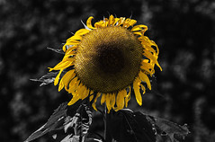 Sunflower, Select Color (Klaus Ficker --Landscape and Nature Photographer--) Tags: sunflower selectcolor bw select color flower usa kentucky kentuckyphotography klausficker canon eos5dmarkii