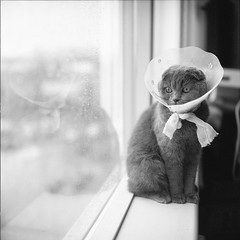 Rainy Day- After surgery (itsmattattack) Tags: film rolleiflex kodak black white blackandwhite monochrome pet cat filmphotography mediumformat 120 kitty 400tx rain window bw 6x6 scan rolleiflex28f carlzeiss planar