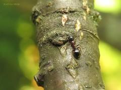 Dolichoderus quadripunctatus (KOLLEKCIONER) Tags: hymenoptera ant animal insect arthropoda