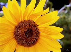 Un grain d'beaut o j'm'en  vas boire (Bouteillerie) Tags: flower floral fleur fleurs jaune canon garden outside jardin sunflower t botanique horticulture tournesol closion agricole vgtal languageofflowers languageofflower bouteillerie