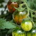 Tomatoes 'Tumbling tiger'