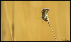 Argus bleu (Nightmar83) Tags: france butterfly papillon var lagarde argusbleu 83130
