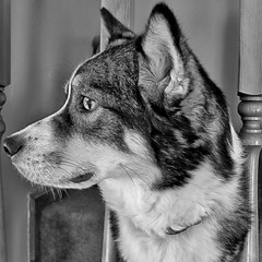 Scout profile (Shot by Kevin Lester) Tags: blackandwhite bw white black stairs canon mutt husky lazy australianshepherd s90