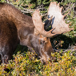 Moose bull thrashes its antlers into bushes thumbnail