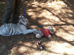 20150919_115817 (mjfmjfmjf) Tags: oregon zoo tigercub 2015 greatcatsworldpark