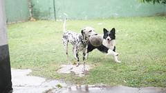 DSC02961 (agorayebm) Tags: dog bordercollie dalmatian crick dlmata