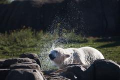 BLIJDORP20151001_©arievantilborg-9662 (Arie van Tilborg) Tags: blijdorp polarbear ijsbeer rotterdamzoo ijsberen arievantilborg