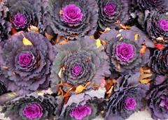Plant-grid-at-CSHL--DSC06692 (mbgmbg) Tags: flowers grid series cshl ortonish kw2flickr kwgooglewebalbum takenbymarkgerstein kwpotppt kwphotostream5 i0gi2015 seriesi0gi2015upload