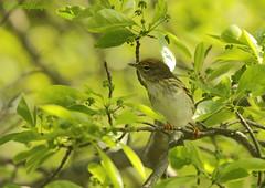 Reinita Estriada Blackpoll warbler (Dendroica striata) (Corriplaya) Tags: birds aves blackpollwarbler dendroicastriata corriplaya reinitaestriada