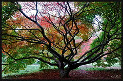 Inside out (Rob McC) Tags: autumn colour tree leaves maple branches arboretum westonbirt acer trunk explored