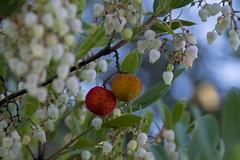 Arbutus unedo (fc0m0ra) Tags: madroo strawberrytree arbutusunedo valverdedelcamino