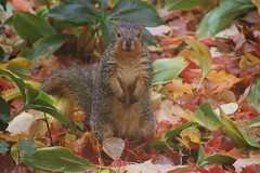 139/365/2695 (October 28, 2015) - Wet Autumn Squirrels at the University of Michigan (October 28, 2015) - Explored! (cseeman) Tags: squirrels annarbor michigan animal campus universityofmichigan umsquirrels10282015 fall autumn eating peanut acorns rainy overcast wet 2015project365coreys yeareightproject365coreys project365 p365cs102015 octoberumsquirrel gobluesquirrels umsquirrel