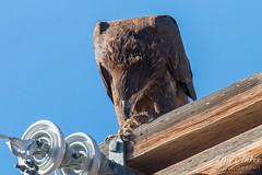 Bald Eagle tears into its prairie dog meal