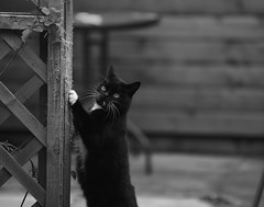 "Monty: ""What do you mean I can't scratch this post??"" (eddcellentcats) Tags: cats cat blackcat garden eyes kitty whiskers scratch claws blackcats scratching scratchingpost kittycat"
