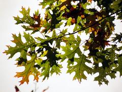 Black Oak Leaves (treegrow) Tags: autumn plants fall nature leaves washingtondc oak fallcolors rockcreekpark fagaceae angiosperms lifeonearth quercusvelutina taxonomy:binomial=quercusvelutina canonpowershotsx40hs