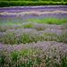 Cotswold Lavender, Summer'15