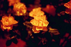 yellow rose (september.) Tags: roses film 35mm washingtondc lomography ne monastery northeast franciscan brookland canonrebelg redscale canonef35mmf20