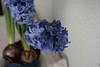 Las flores (mati-hari) Tags: flores tallo azul hojas flora plantas bulbos tiestos jacintos