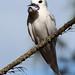 White Tern By:Kiah Walker/USFWS