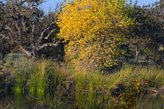 Golden Yellows (rschnaible) Tags: california autumn trees usa west color tree fall water colors yellow landscape outdoors us pond colorful western marsh wetland