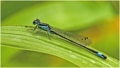 Male Blue Tailed Damselfly (cconnor124) Tags: blue ireland nature canon photography insects northernireland naturalbeauty canoneos damselflies predators naturephotography canon100mmmacrolens uknature wildlifephotography awesomenature beautyofnature flickrnature loughbrickland naturesgallery insectphotography shieldofexcellence canon700d getintouchwithnature