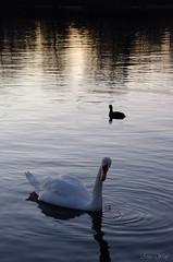 Schwan (Anja-Photographie) Tags: natur kelsterbach main mainufer wasser schwan tier