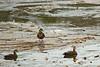American Black Ducks (EHPett) Tags: whalebonecreek connecticut connecticutriver waterfowl bird animal wildlife outdoor