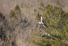 7K8A8987 (rpealit) Tags: scenery wildlife nature new york state bald eagles bird