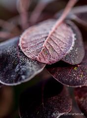 Hoar Frost #2 (Natur.Licht.Farben.) Tags: autumnfoliage autumn herbstblätter winter hoarfrost leaf frost raureif reif herbst