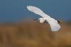 Little Egret (Egretta garzetta) (Joe Turner - www.joeturnerphotography.co.uk) Tags: little egret birds flight canon uk 5d mark iii 400mm f4 do is usm bird light golden colours
