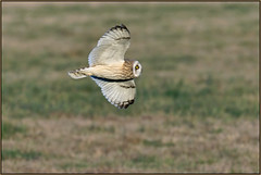 Short-eared Owl (image 2 of 4) (Full Moon Images) Tags: wildlife nature bird prey birdofprey flight flying east anglia fens cambridgeshire shorteared owl short eared seo