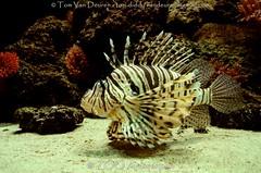 Indische Koraalduivel - Pterois miles - Common Lionfish (MrTDiddy) Tags: indische koraalduivel pterois miles common lionfish koraal duivel lion fish vis zooantwerpen zoo antwerpen antwerp