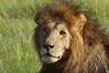 IMGP0018b2 (Micano2008) Tags: kenia africa pentax parquenacional masaimara mamifero leon pantheraleonubica