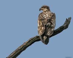 YrEagle2a (lfalterbauer) Tags: baldeagle raptor doylestown canon7dmarkii birdwatcher photographer nature wildlife seaeagle avian perch bird