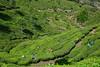 DSC_9177 a (Tartarin2009 (travelling)) Tags: tartarin2009 nikon d600 travel india kerala munnar tea teaplantation green