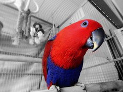 (Reinley) Tags: eclectusparrot parrots selectivecoloring red blue