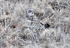 A short-eared owl attacking a mouse (takashimuramatsu) Tags: shorteared owl attack attacking catch catching asio flammeus mouse prey osaka japan nikon d810 コミミズク asioflammeus