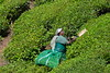 DSC_9172 (Tartarin2009 (travelling)) Tags: tartarin2009 nikon d600 travel india kerala munnar teaplantation tea landscape people