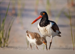 The Way We Were (Kathy Macpherson Baca) Tags: explore animal animals bird birds oystercatcher feathers aves shore migrate chicks mother sand beach ocean maternal fly flying wildlife earth world planet protect endangered longisland oyster baby down natture