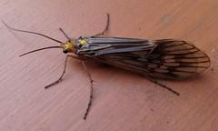 Northern Caddisfly (Hydatophylax argus) (PhotoBeeB) Tags: hydatophylaxargus caddisfly