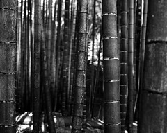 Bamboo - Kyoto (* Daniel *) Tags: polaroid polaroid110a polaroidlandcamera markdaniel markdanielphotocom mono monochrome ilford ilfordid11 id11 ilfordfp4 ilfordfp4plus ilfordfp4plussheetfilm sheetfilm 100asa asa100 japan kyoto bamboo film filmgrain ysarex ysarex127mm ysarex127mmf47 convertedpolaroid 5x4 filmdev:recipe=11172 ilfordfp4125 film:brand=ilford film:name=ilfordfp4125 film:iso=80 developer:brand=ilford developer:name=ilfordid11 polaroidpathfinder