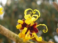 Spiralentfaltung (Jörg Paul Kaspari) Tags: trier palastgarten winter januar zaubernus hamamelis japonica hamamelisjaponica entrollen petalen gelb yellow winterblüher spiral spiralentfaltung blüte flower fleur
