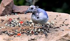 who you callin ugly..? (don.white55 never caught up) Tags: bluejaycyanocittacriststa harrisburgpennsylvania donwhite donpwhitephotography thatswildnaturephotography bird birdwatching backyardbirds funny