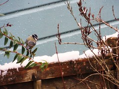 The Thaw ... ☺ (Tricia in España ....☺) Tags: thethaw bluetit birds fluttering plants garden snow outdoors thaw snowthaw fence