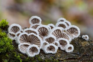 schizophyllum commune_DSC0405