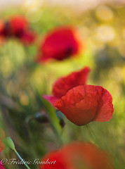SooN (frederic.gombert) Tags: poppy poppies flower flowers red green light spring winter sun sunlight color colors macro d810 nikon 1001nightsmagiccity 1001nights