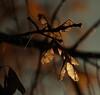 Golden light (Sappho et amicae) Tags: goldenlight plant flora detail sapphoetamicae željkagavrilović canon450d