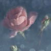 Cosmos (BirgittaSjostedt) Tags: rose closeup nature art unique texture drops bokeh birgittasjostedt magicunicornverybest ie